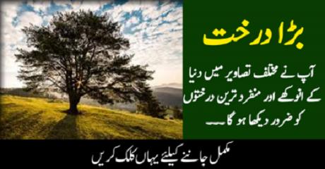 دنیا کا ایسا درخت جو 106ایکڑ رقبے پر پھیلا ہوا ہے اس کی جڑیں کتنے ہزار سال پرانی ہیں؟ حیران کن رپورٹ