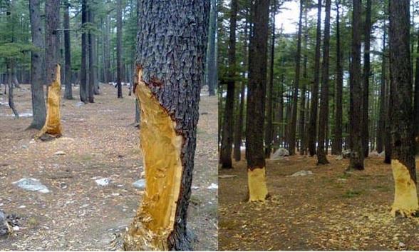 رمضان المبارک میں ٹمبر مافیا نے کالام گورکین میں جنگل کا صفایا کرنے لگے