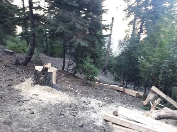 کالام ، سوات کا سب سے قیمتی درخت کٹنے لگے، محکمہ جنگلات لا علم