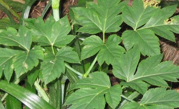 اگر جوان رہنا چاہتے ہو توپھر یہ پودا ضرور کھاو ۔ ۔ ۔ جاپانیوں کی نئی ریسرچ سامنے اگئی