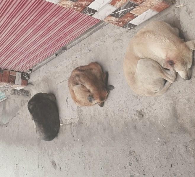 سوات میں آوارہ کتوں کا خاتمہ نہ ہوسکا،مزید دوافراد کو کاٹ لیا