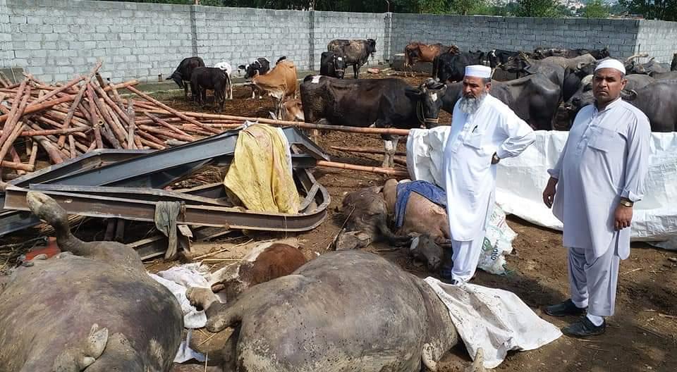 کانجو میں چھت گرنے سے 15 بھینسیں ہلاک ، لاکھو کا نقصان